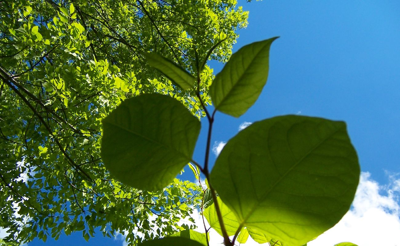 Tree Leaves Close Up With Blue Sky