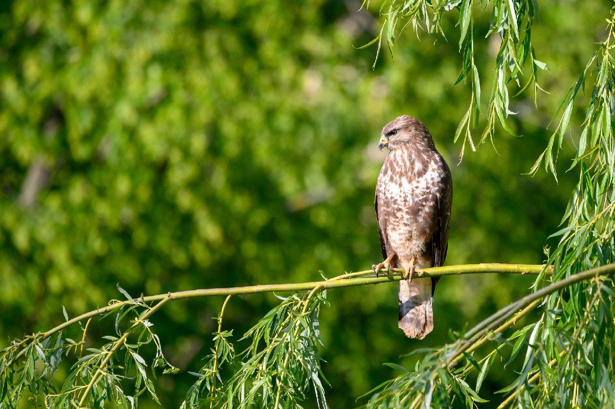Buzzard Bird On Weeping Willow