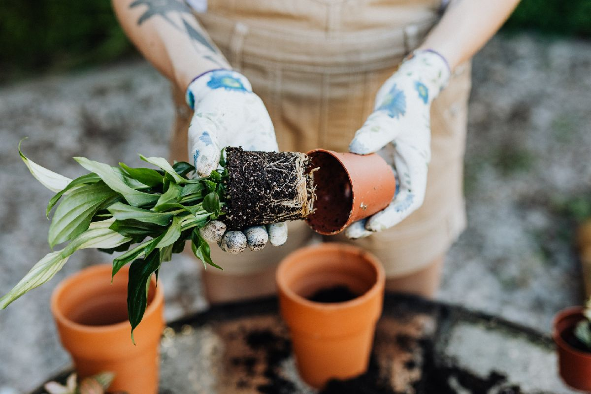 Gardening - Repotting A Plant