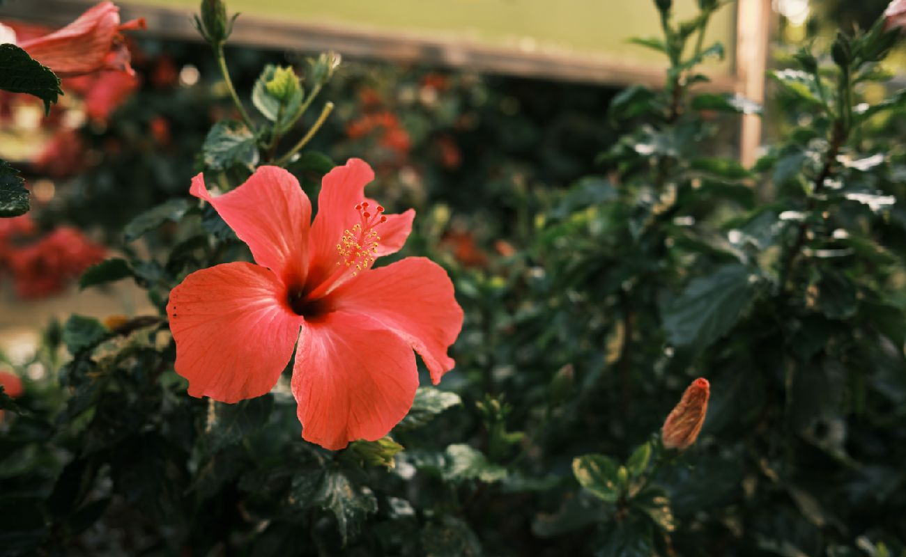Flower - Pink Hibiscus