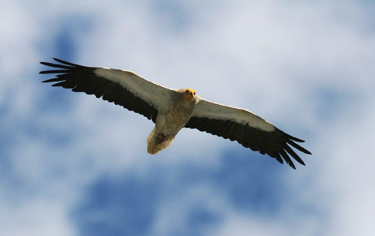 Soaring Egyptian Vulture © Michele Mendi